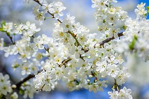 Words....... plum blossom